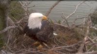 One of the pair, in the nest this rainy Tuesday