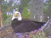 Adult on nest watching the area
