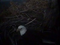 Mom was still on the nest when it got to dark to see her anymore!