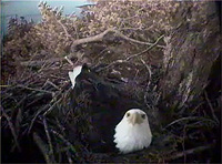 Captured on May 30, 2008.  Mom spends some time laying down in the nest bowl.