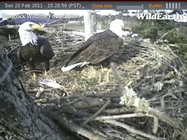 Captured from the Sidney EagleCam on February 20, 2011 (from about 3:30 - 3:35 p.m.)