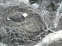 While incubating tuckaroos are a must;  adult draws in some bedding and places it as near as possible to their body and the egg cup area.